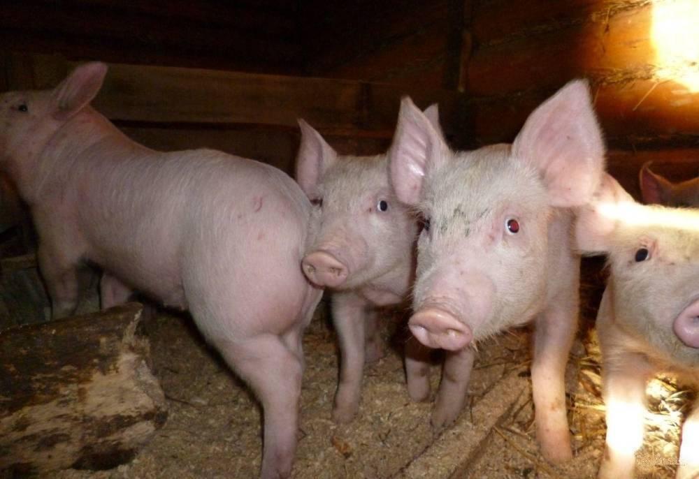 Откорм свиней в домашних условиях - подробная информация!