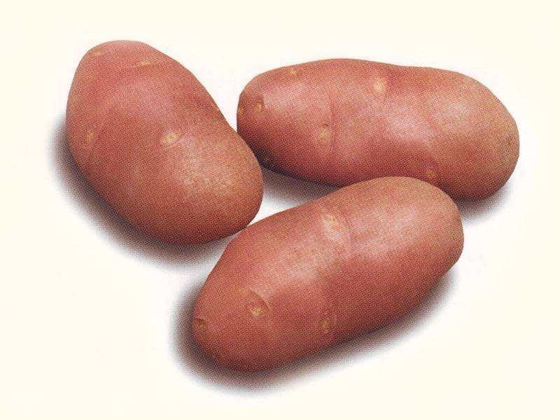 Сорт картофеля «ред скарлет»: особенности выращивания