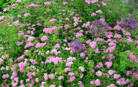 Спирея голден литл принцесс- отличный способ оформления садового участка | jsadovod.ru спирея — уникальное декоративное растение — jsadovod.ru