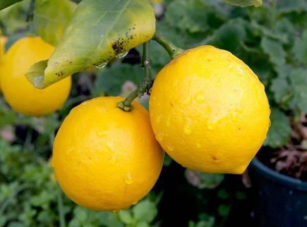 Лимон фрукт или ягода — ягоды грибы
