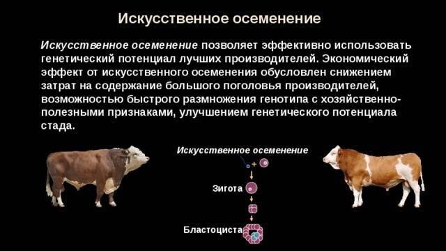 Технология искусственного осеменения коров