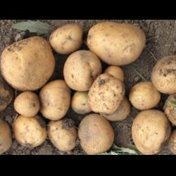 Картофель — голубизна: описание и характеристика сорта, фото, отзывы