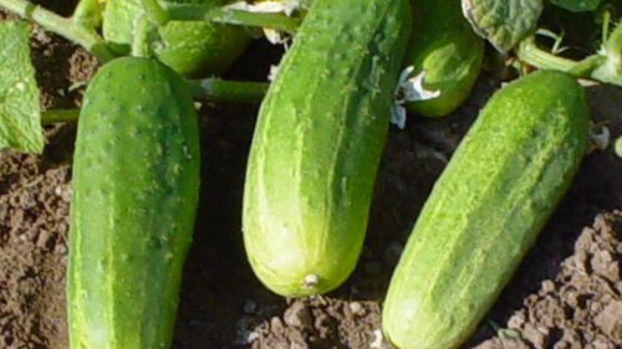 Огурцы «темп f1»: характеристики, достоинства, особенности выращивания