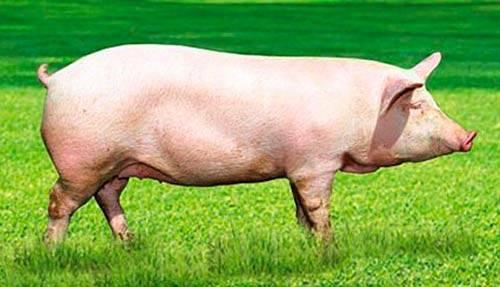 Выход мяса бройлера от живого веса