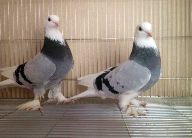 Бойные голуби - особенности содержания и тренировки