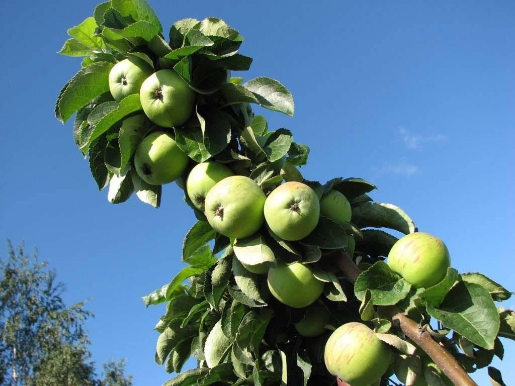 Правильная обрезка и уход за яблонями весной, осенью, летом и зимой