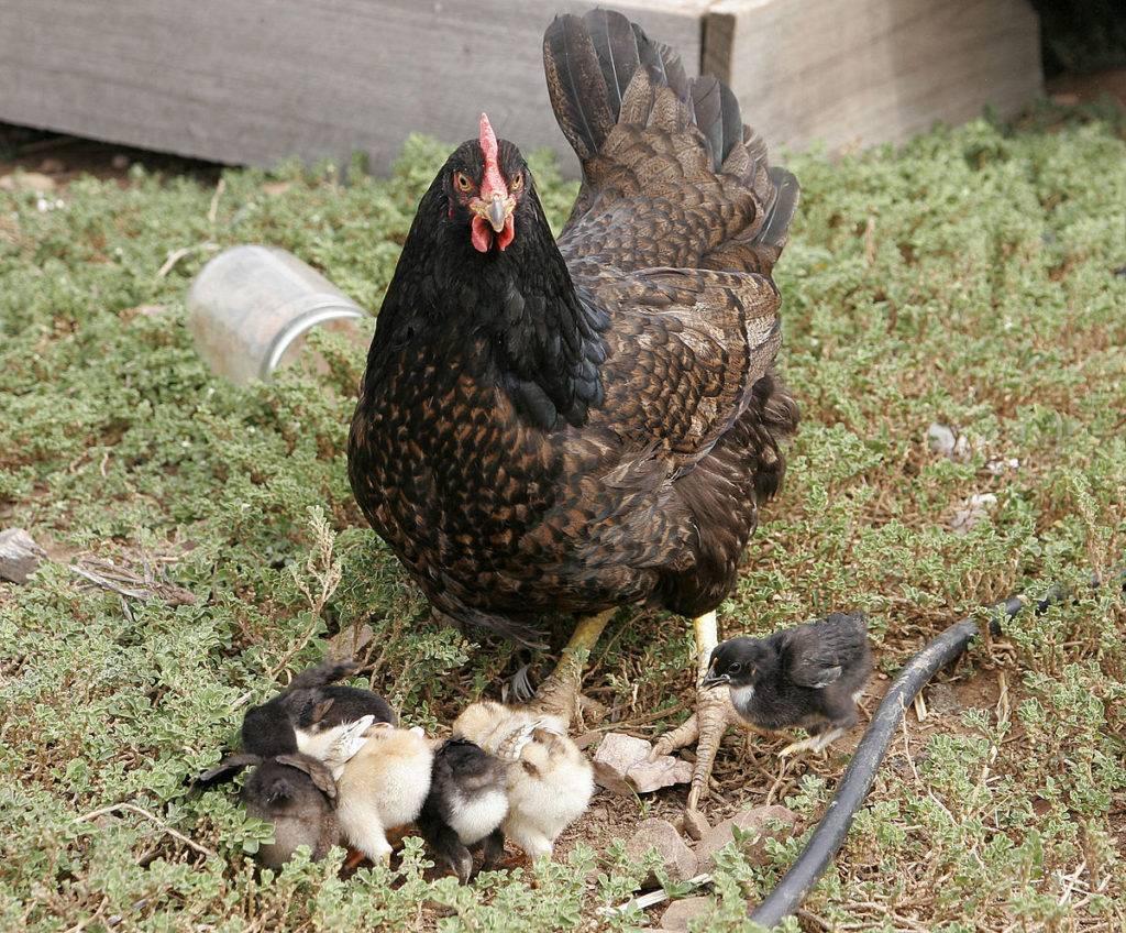 Описание породы кур барневельдер и как ухаживать за птицами