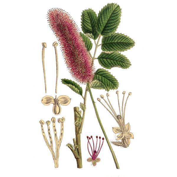 Применение травы и корня кровохлебки лекарственной