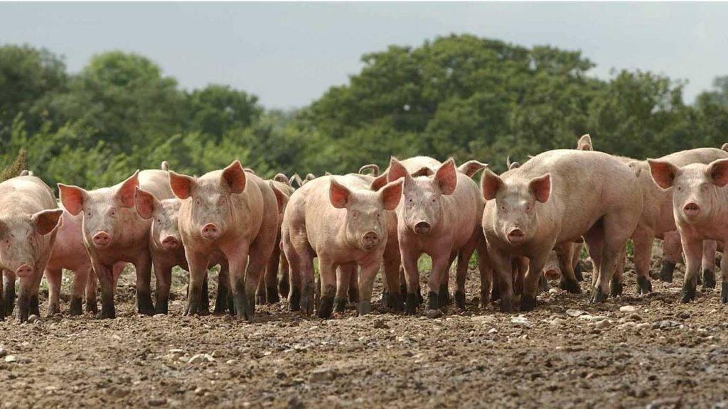 Разведение свиней в домашних условиях: содержание и кормление