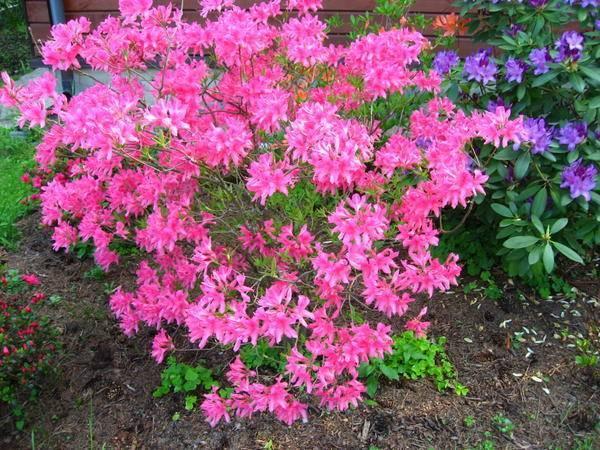 Описание рододендрона розеум элеганс и правила ухода за этим видом