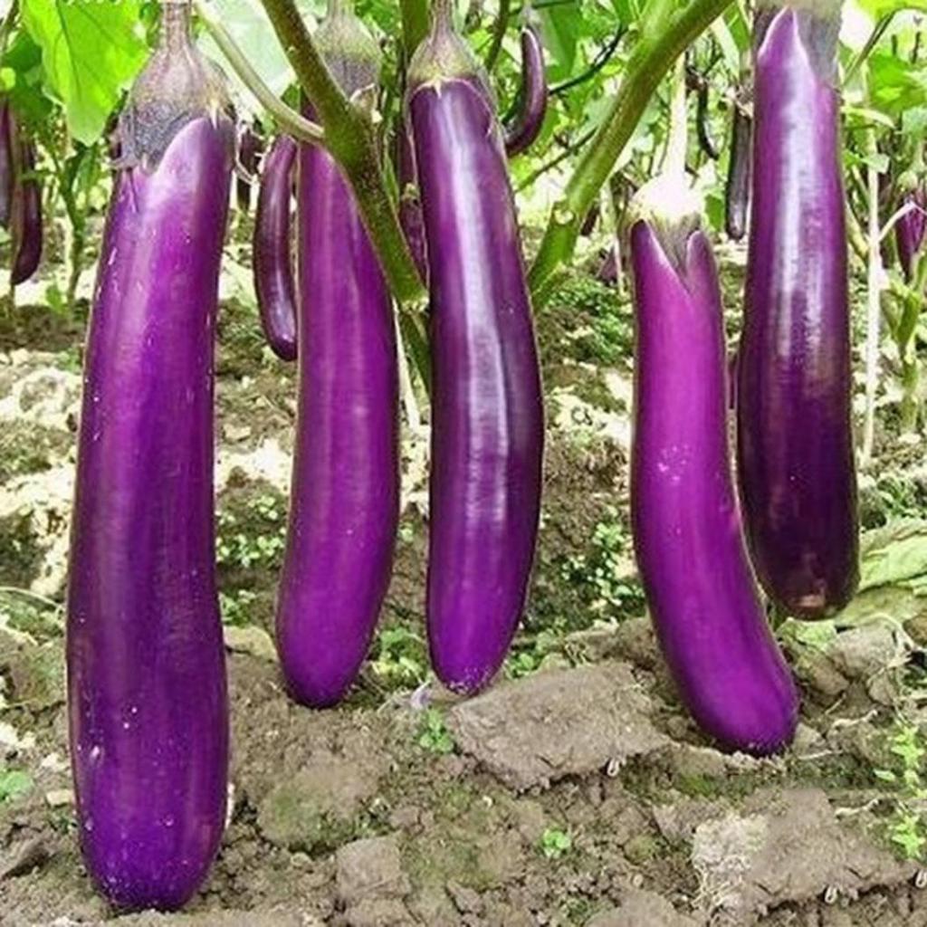 Баклажан длинный фиолетовый отзывы фото