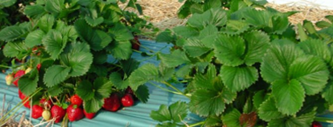 Лучшие сорта ремонтантной клубники и садовой земляники для подмосковья