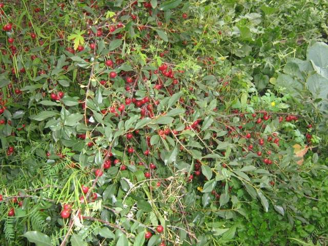 Вишня харитоновская: как получить большой урожай ягод с отменным вкусом