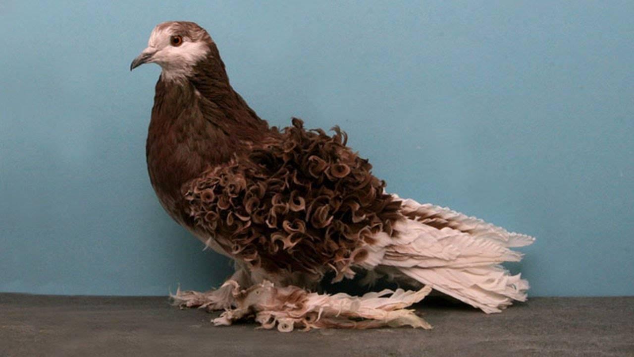 Высоколётные голуби: классификации птиц по разным признакам, фото