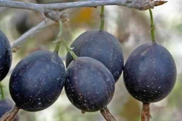 Крыжовник куршу дзинтарс: характеристика, особенности выращивания и размножения
