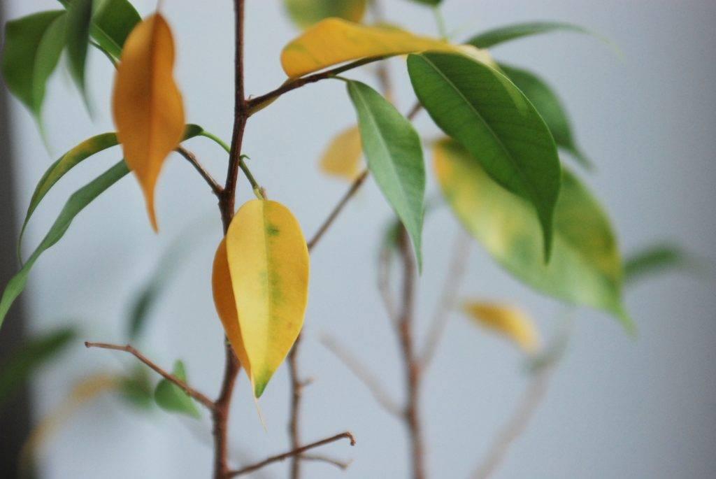Лечение хлороза листьев у гортензий в саду: можно ли поливать железным купоросом