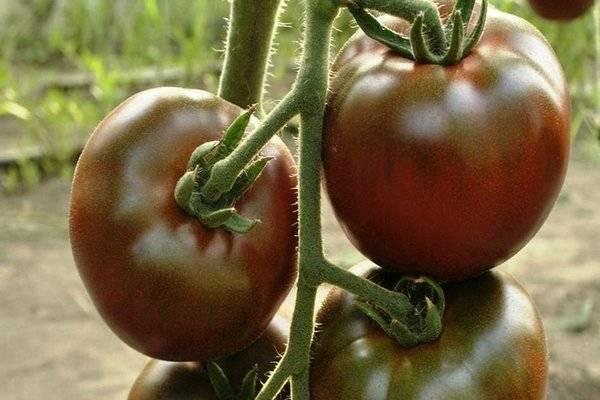 Сорт томата «черный барон»: описание, характеристика, посев на рассаду, подкормка, урожайность, фото, видео и самые распространенные болезни томатов