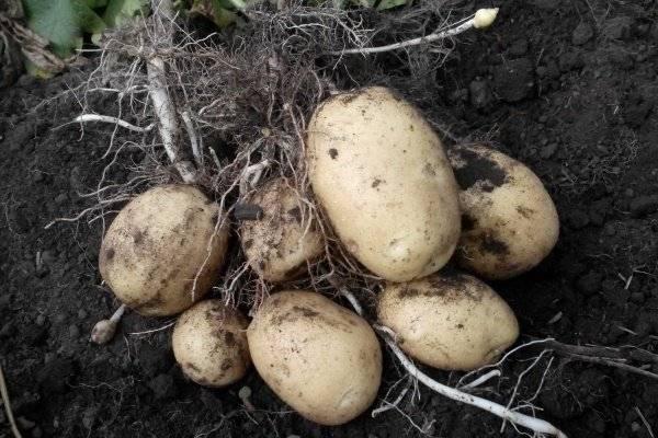 Картофель удача: описание сорта, фото, отзывы, посадка и выращивание