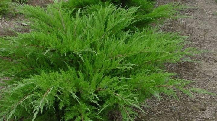 Бересклет (52 фото): описание кустарника, посадка и уход, выращивание растения в открытом грунте в сибири и на урале, использование в ландшафтном дизайне
