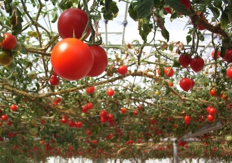 Современная агротехника: особенности технологии выращивания помидоров спрут f1 или как вырастить томаты на дереве?