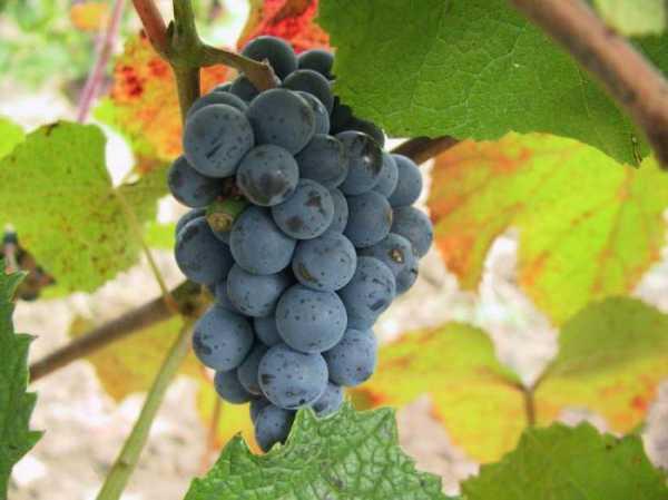 Амурский виноград дикий, посадка и уход