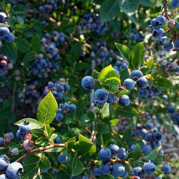 Ирга: описание, уход, посадка и выращивание