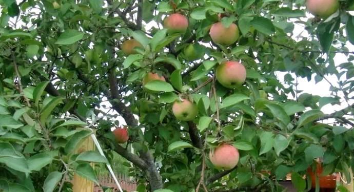 Популярные ранние сорта яблонь для подмосковья с фото и описанием