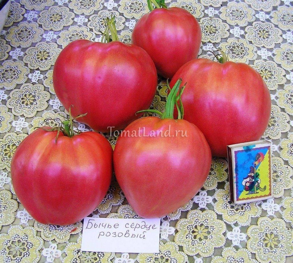 «бычье сердце красное» - томат для выращивания в южных регионах россии: описание и особенности выращивания