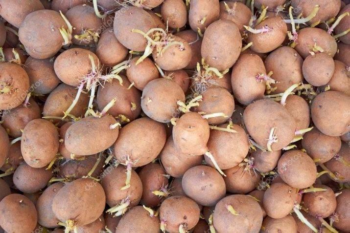 Картофель сорта беллароза (белла роза или белая роза)- урожайный сорт