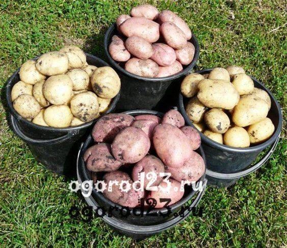Картошка рябушка сорт фото