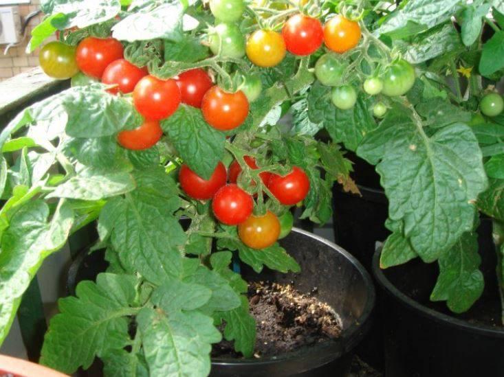 Какие томаты растут в средней полосе, на урале и в сибири? обзор низкорослых и других сортов для открытого грунта