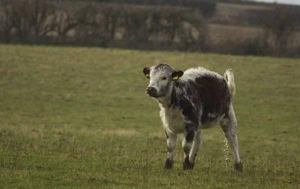 Болезни суставов крупного рогатого скота