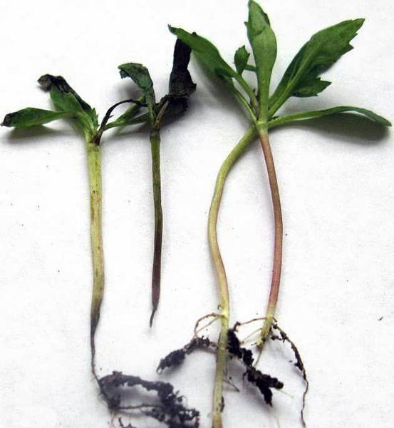 Черная ножка у рассады помидоров: методы борьбы