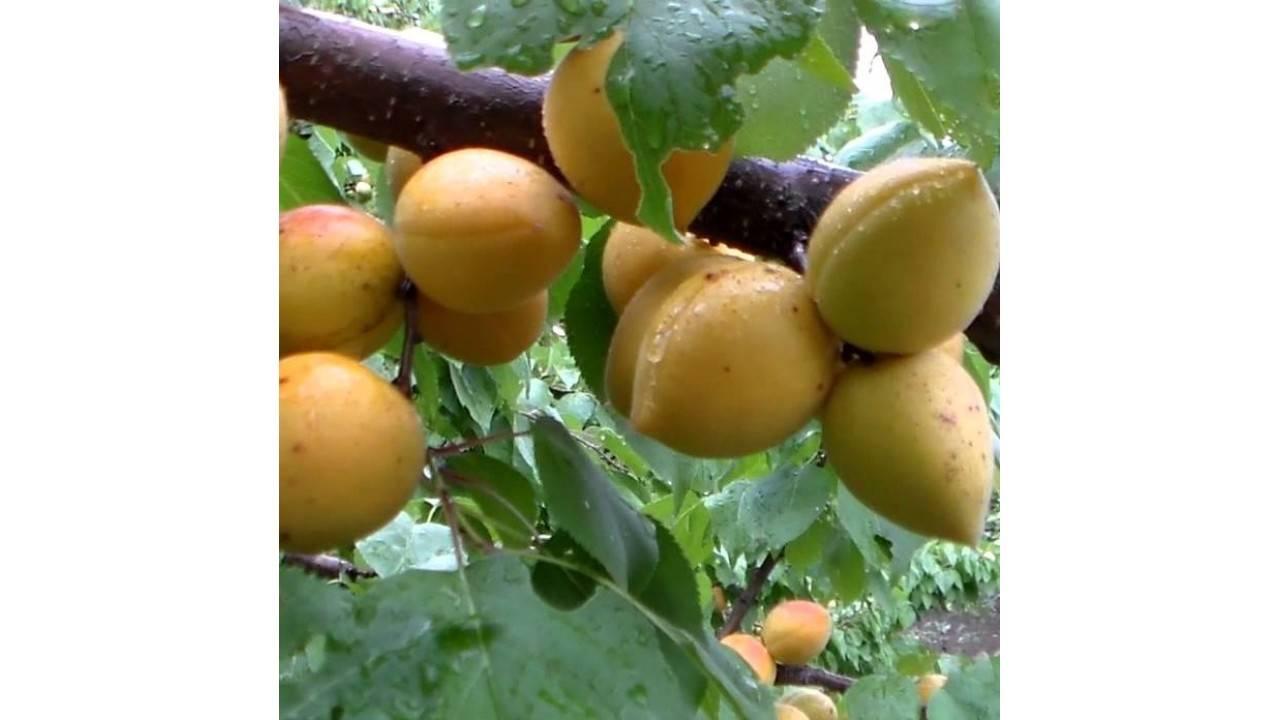 Лучшие сорта абрикоса устойчивых к монилиозу