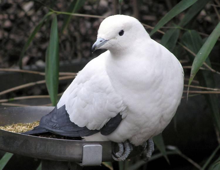 Породы декоративных голубей