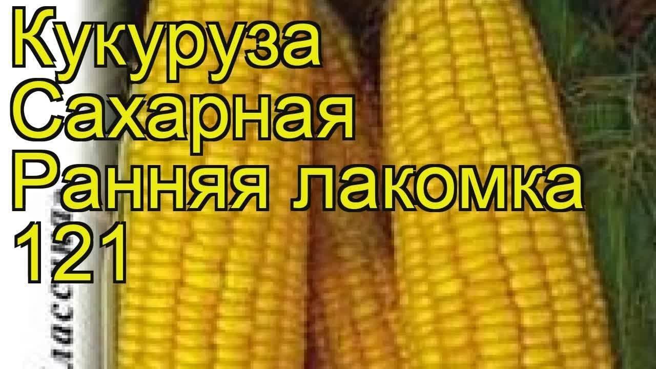 Королева полей — сахарная кукуруза на дачных грядках