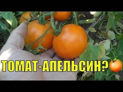 Характеристика и описание томата сорта «апельсин»: фото, видео + отзывы