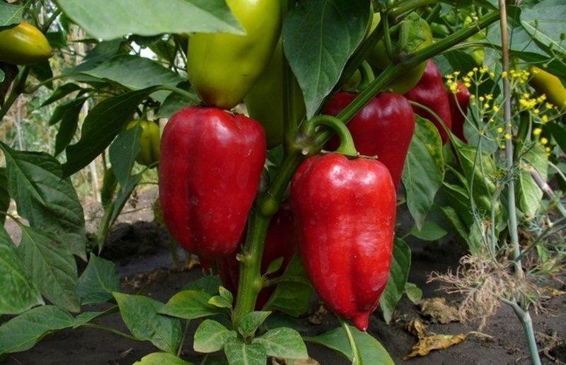 Лучшие сорта перцев для теплиц из поликарбоната - подробный перечень сортов