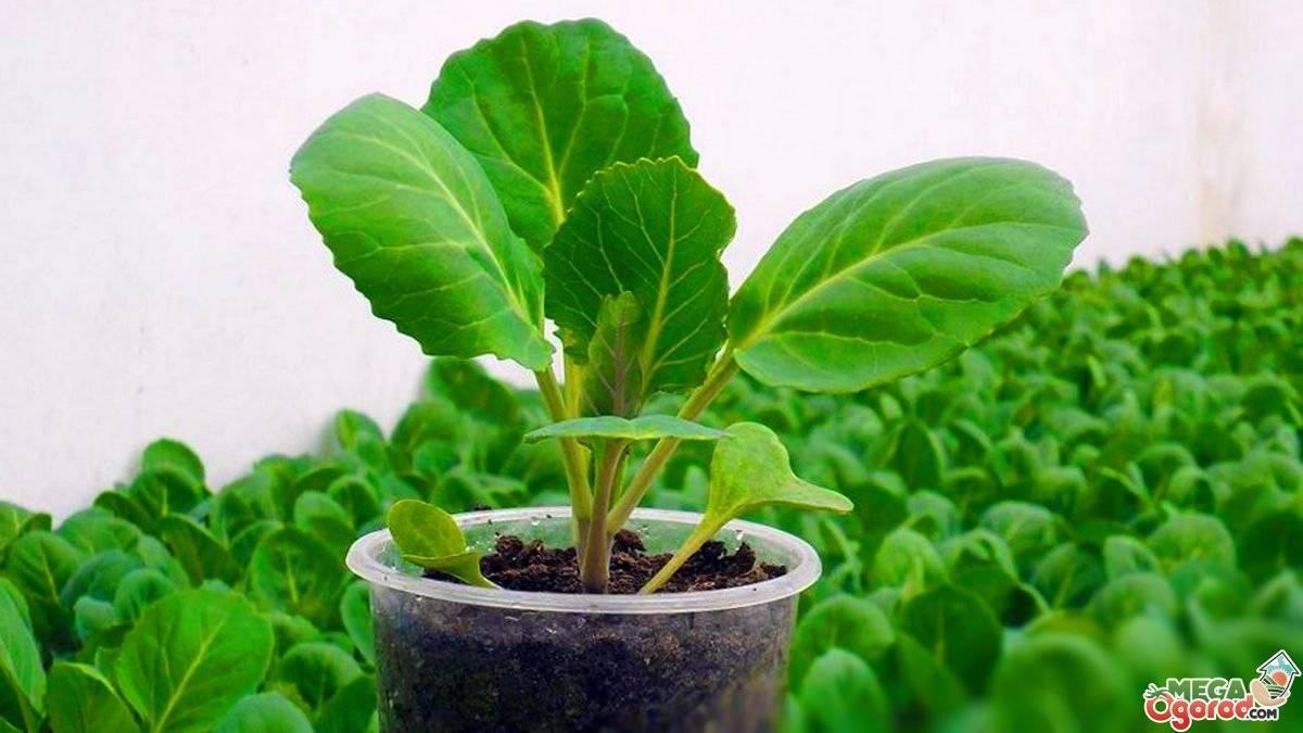 Обзор характеристик и описания сорта капусты белорусская 455, выращивание и уход