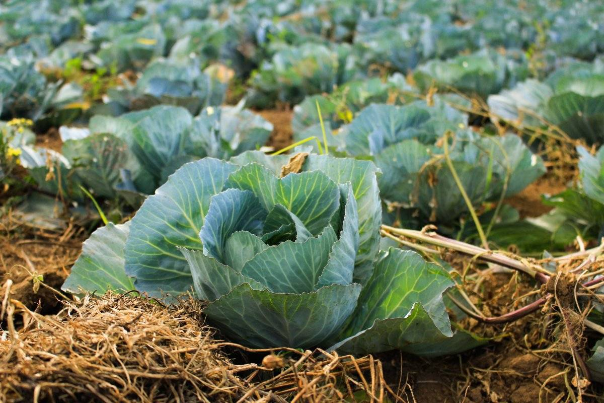 Витаминная капуста «глория» f1: вкусный и полезный овощ на вашем столе!