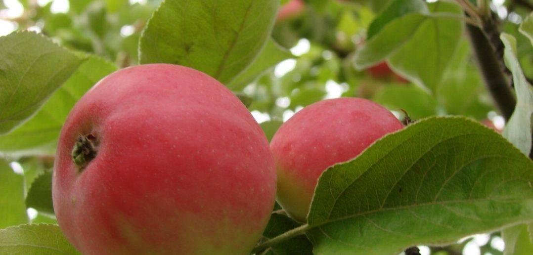 Описание и характеристика сорта яблони медуница