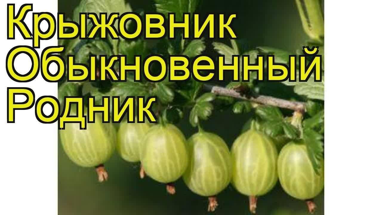Крыжовник родник описание сорта — ягоды грибы