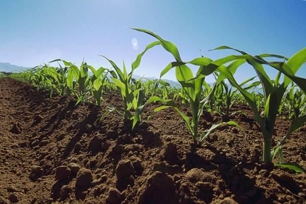 Когда и как сажать кукурузу семенами в открытый грунт