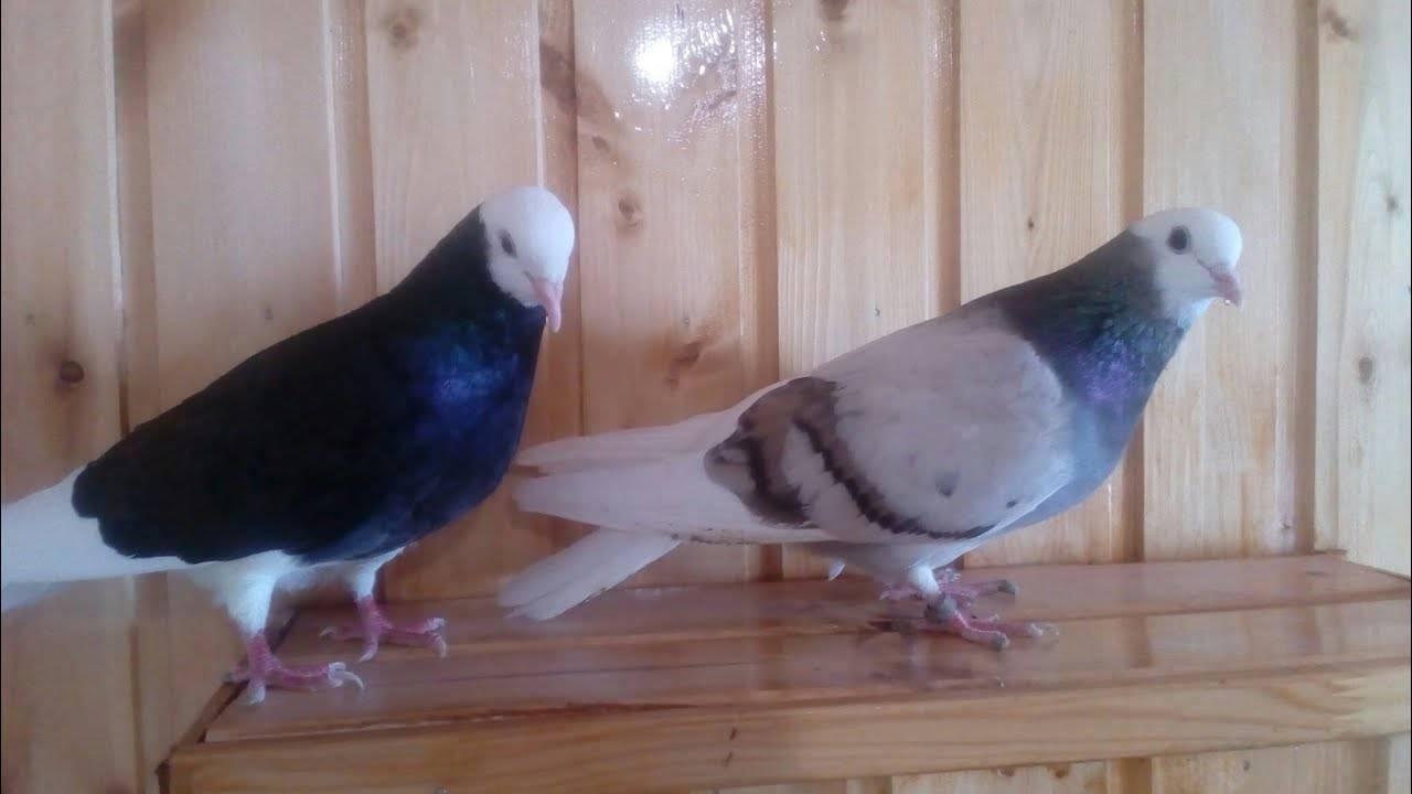 Самые популярные породы высоколётных голубей
