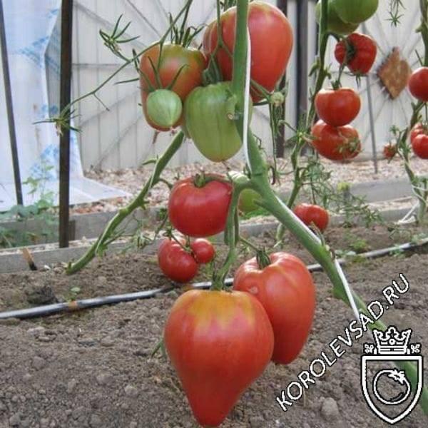 Сорта томатов: орлиный клюв