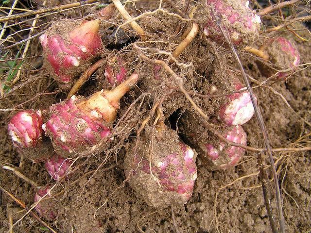 Каким образом посадить топинамбур весной и как это лучше сделать?