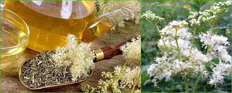 Полезные свойства таволги, и лекарственные рецепты из ее корней, соцветий, травы