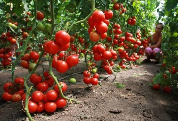 Ранние сорта томатов для теплицы из поликарбоната