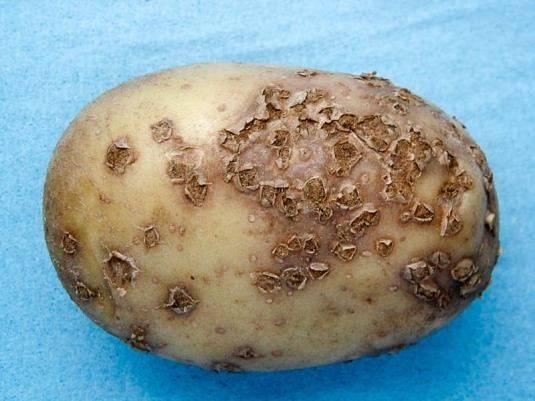Болезни картофеля — часть 1 «грибковые болезни картофеля»