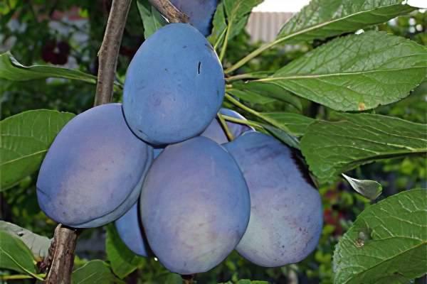 Надёжный сорт для русского сада — слива «синий дар»